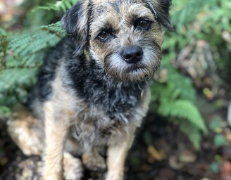 border terrier sat in a wooded area surrounded by ferns & looking at the camera inquisitively
