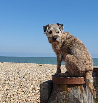 border terrier sat on a post at a pebble beach with a calm sea and vivid blue, cloudless sky behind on a beautiful summer's day