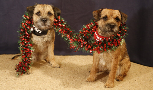2 border terriers sat side by side with a red & green tinsel garland draped around their necks