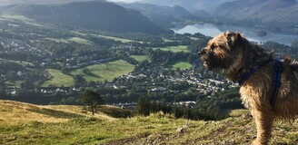 Border terrier standing in harness looking out from a high point over Lake District vista with blue sky and lake and hills in the background