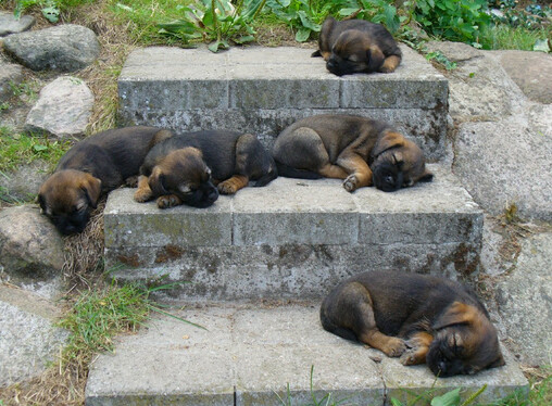 5 border terrier puppies all lying down fast asleep on 3 steps outside