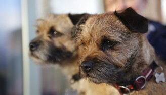 2 border terrier side by side showing their heads in focus with a faded out background