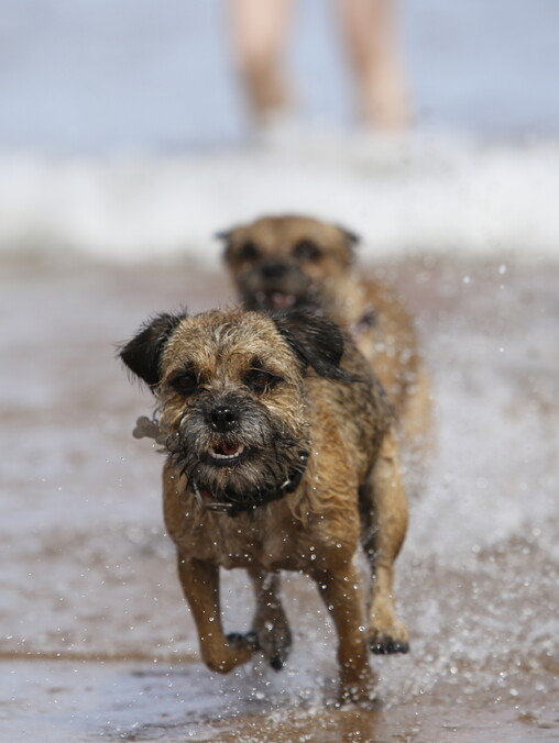 two border terriers running towards the camera in the surf on the beach looking happy